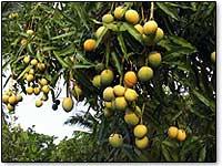 mangoes-ras-al-khaimah