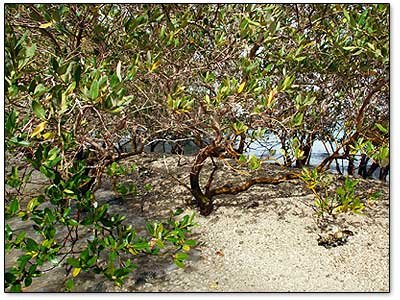 mangrove-forest